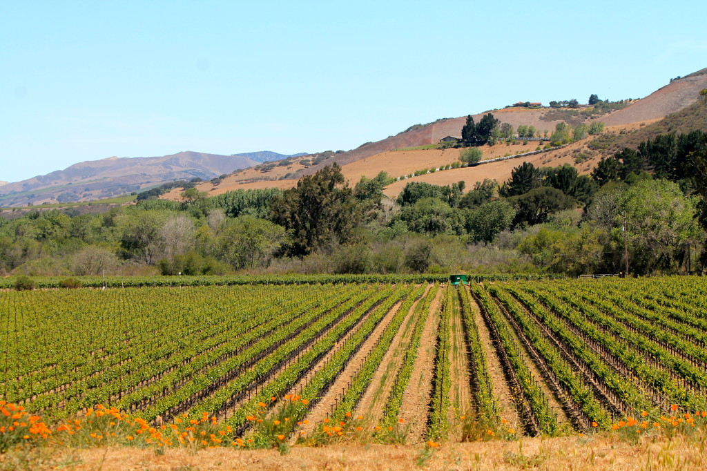 Santa Rita Hills AVA is five miles west of Buellton.