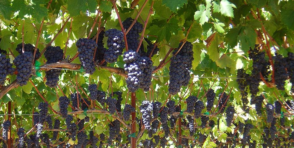 Grapes_AlexanderValley_BacigalupiVineyards